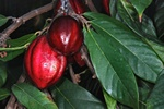 Cacao (Theobroma cacao)
